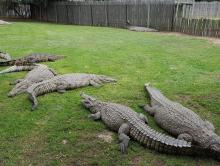 Crocodile and reptile farm